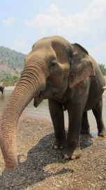 The home of some beautiful, happy rescued elephants. This lovely old lady had just been helped with a bath in the river :)